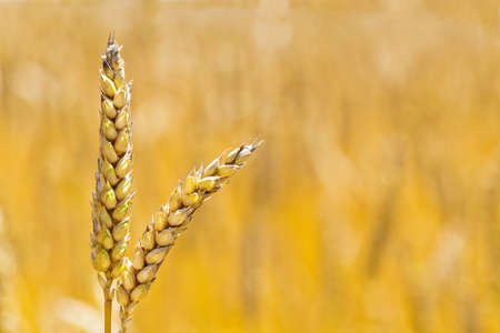 peasantry: ears of wheat on a grain field of a farmer in the summer. Stock Photo
