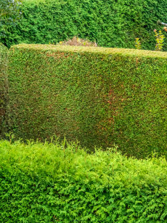 thuja: a hedge of arborvitae as a privacy screen in a garden. cut and uncut