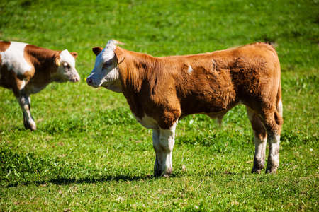 milk production: dairy cows on the summer pasture, symbol photo for milk production and organic farming