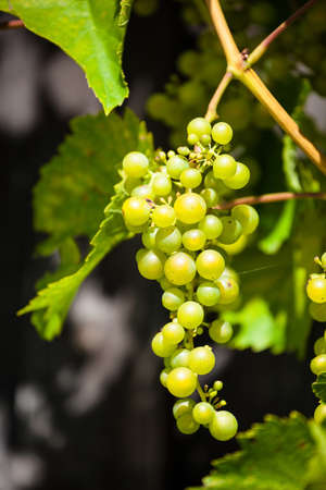 maturation: green grapes close-up, symbol photo for viticulture, harvest