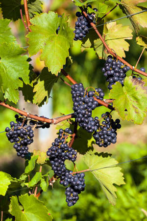 maturation: vintage in autumn in vineyard of winemaker. ripe grapes in the vineyard waiting for the harvest.