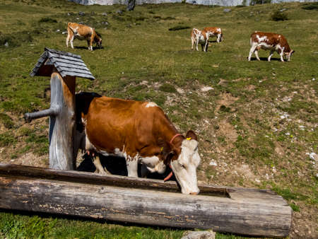 peasantry: cows grazing on a pasture in austria. biological agriculture.