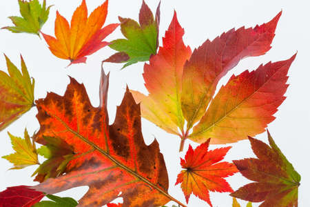 dissimilarity: the colorful messenger of autumn. leaves on white