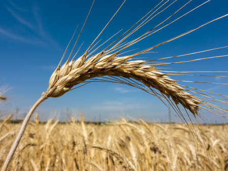 peasantry: a box of cereal (wheat) just before harvest. corn fields in summer.
