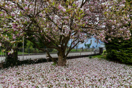 resistivity: a beautiful blooming magnolia tree in spring announces the spring