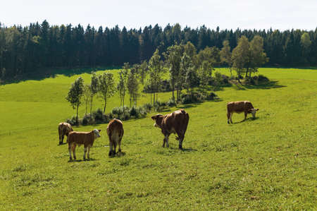 milk production: dairy cows on summer pasture, symbolic photo for milk production and organic farming Stock Photo