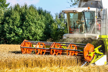 combining: a cornfield with wheat at harvest. a combine harvester at work.
