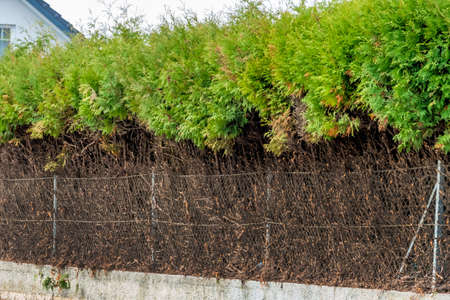 bush to grow up: fence and green hedge, a symbol of growth, privacy, generational change Stock Photo