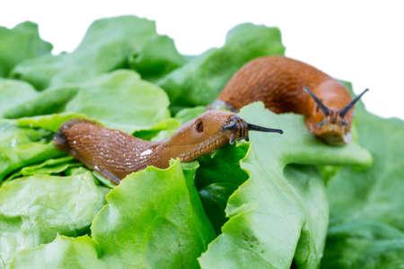 invasion: une limace dans le jardin de manger une feuille de laitue. invasion escargot dans le jardin