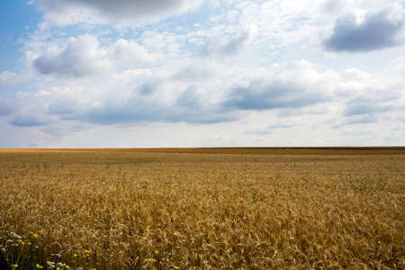 peasantry: a field of corn in the summer. harvest in agriculture