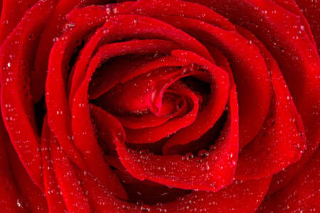 volatility: una rosa roja con gotas de agua sobre la flor.