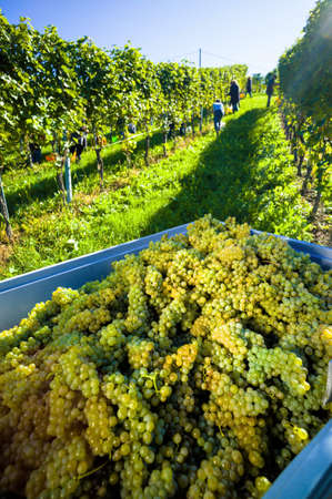 migrant: vintage in vineyard of a winemaker. vineyard in autumn. ripe grapes are harvested.