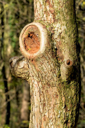 regenerated: tree trunk with sawed-off branches, symbol of forestry, growth, Stock Photo