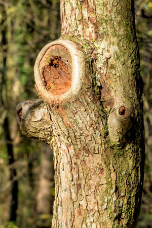 economic botany: tree trunk with sawed-off branches, symbol of forestry, growth, Stock Photo