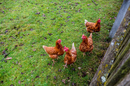 agricultural life: chickens free range, symbol of agriculture, humanely, country life Stock Photo
