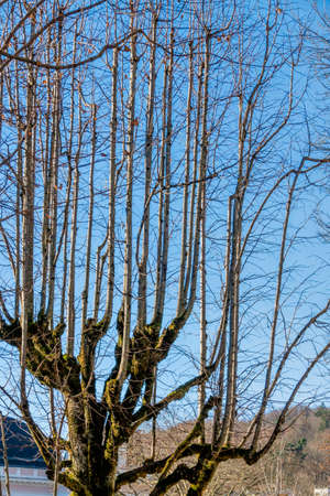 economic botany: old tree with young branches, symbol for change, generational change, growth,