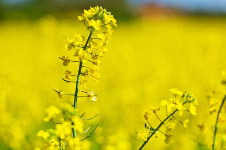 peasantry: eion yellow rape field in spring time in front of a farmhouse. background and copy space.