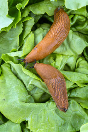 spanish homes: a slug in the garden eating a lettuce leaf. snail invasion in the garden Stock Photo