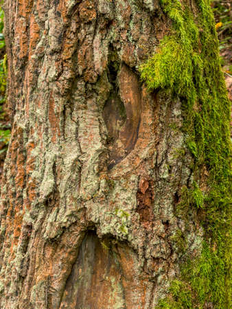 economic botany: tree trunk with moss. old tree with bark and moss
