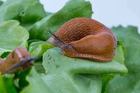 gastropoda: a slug in the garden eating a lettuce leaf. snail invasion in the garden Stock Photo