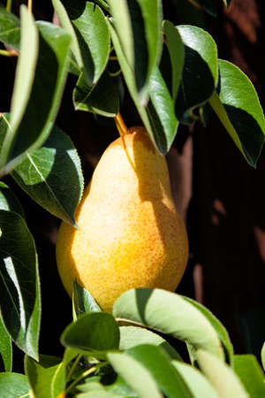 maturation: ripe pear on the tree, close-up Stock Photo