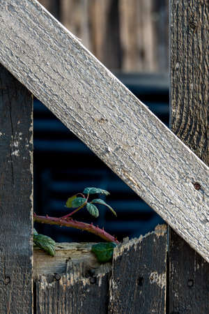 rehabilitated: shoot and old wooden fence, symbolizing life, growth, new beginnings, strength, hope Stock Photo