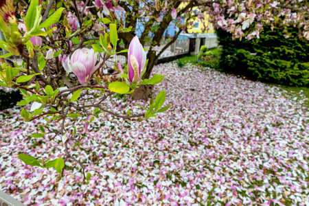 resistivity: a beautiful blooming magnolia tree in spring heralds the spring