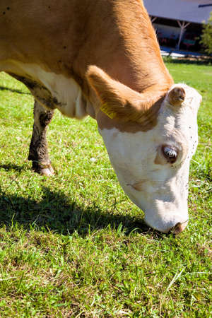 milk production: dairy cow on a summer pasture, symbolic photo for milk production and organic farming Stock Photo