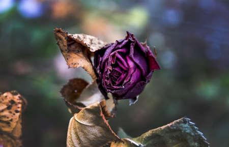 muerte: flores marchitas. muerte, final de la vida, la muerte, el olvido y el recuerdo