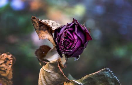 transience: withered flowers. death, end of life, death, forgetting and remembering