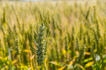 peasantry: a corn field with barley ready for harvest. symbolic photo for agriculture and healthy eating. Stock Photo