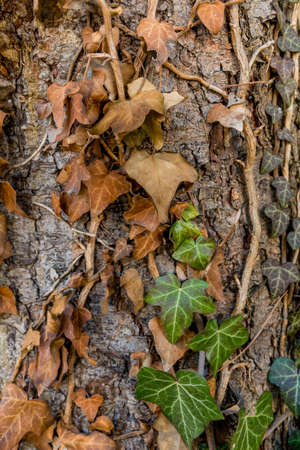 transient: brown ivy on the tree trunk, symbol of autumn, change, death