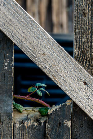 new beginnings: Shoot and old wooden fence, symbolizing life, growth, new beginnings, strength, hope