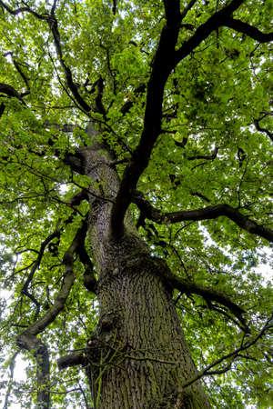 economic botany: Deciduous tree and tree crown, symbolizing growth, life, nature, network Stock Photo