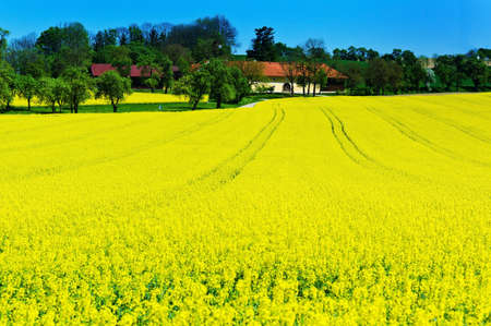 biodiesel: eion yellow rape field in spring time in front of a farmhouse. background and copy space.