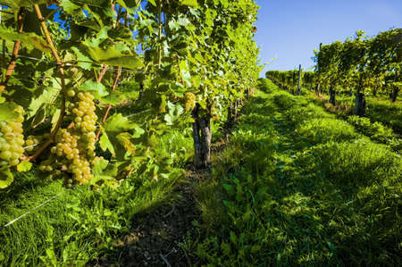 maturation: vintage autumn in the vineyard of a winemaker. ripe grapes in the vineyard awaiting harvest.