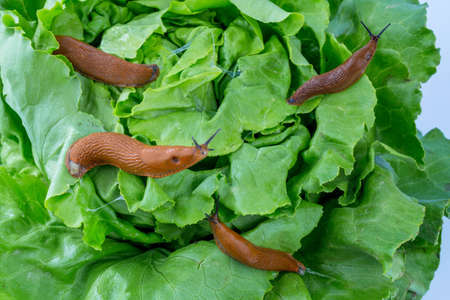 invasion: a slug in the garden eating a lettuce leaf. snail invasion in the garden Stock Photo