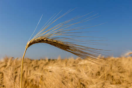 a cornfield with barley awaiting harvest. symbolic photo for agriculture and healthy eating. Stock Photo