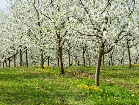 arboles frutales: muchos árboles frutales en flor en primavera. árbol florecido en la primavera es una hermosa época del año. Foto de archivo