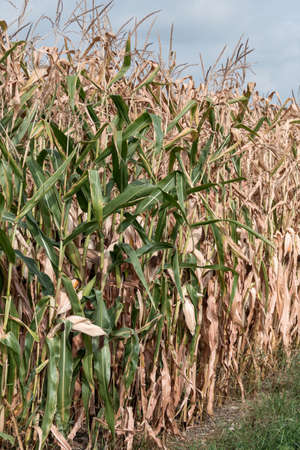 affected: because of the arid summer maize crop is affected.