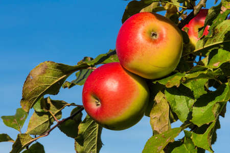 pome: apples in the fall on an apple tree. fresh vitamins in the colorful season Stock Photo