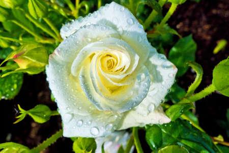 un bianco, fioritura rosa su un grande cespuglio in un giardino