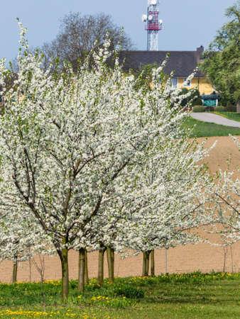 arboles frutales: muchos árboles frutales en flor en primavera. árbol en flor en primavera es un tiempo hermoso del año.
