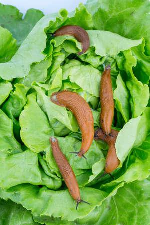 invasion: a slug in the garden eating a lettuce leaf. snail invasion in the garden Banque d'images