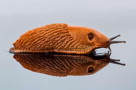 gastropoda: a slug crawling around. it is reflected in a glass plate.