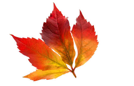 wintering: the colorful messengers of autumn. leaves on white background Stock Photo