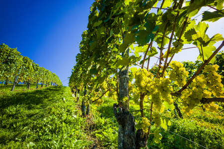 wineries: vintage autumn in the vineyard of a winemaker. ripe grapes in the vineyard awaiting harvest.
