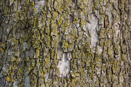 barks: bark on a tree in winter. age, structure, background
