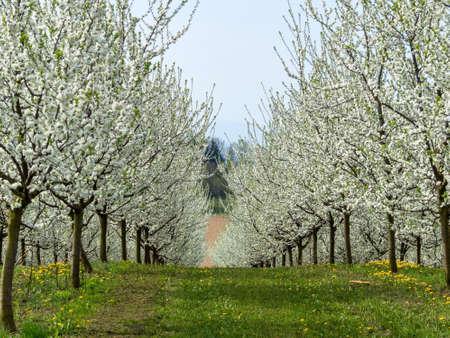 primavera: muchos árboles frutales en flor en primavera. árbol florecido en la primavera es una hermosa época del año. Foto de archivo