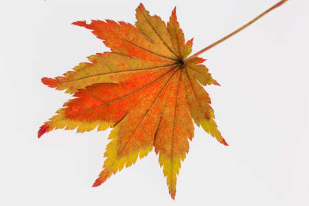 messengers: the colorful messengers of autumn. leaves on white background Stock Photo